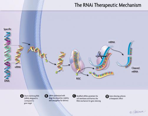 The RNAi therapeutic mechnism